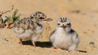 Baby fairy terns.