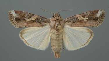 The adult moths have a wingspan of up to 40mm and are considered strong fliers, making them a high risk as an invasive species.