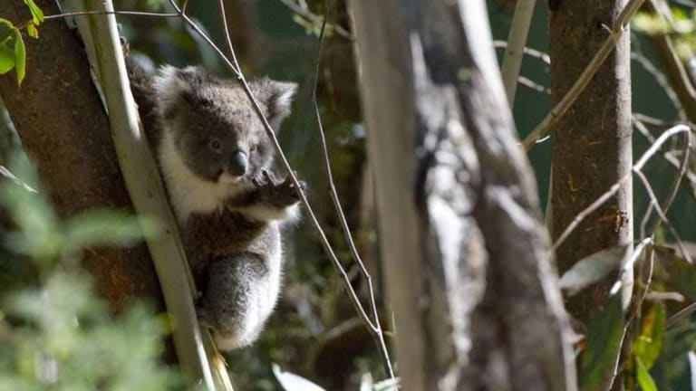 The NSW government wants to buy private land to reserve as national parks for koalas.