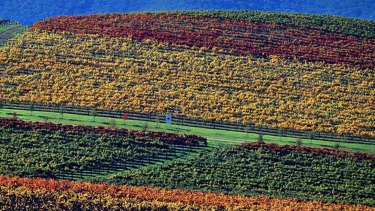 The colours of autumn vines at De Bortoli Wines in The Yarra Valley