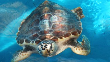 The Coral Sea marine park, home to a range of endangered turtles, faces having its protection levels reduced by the Turnbull Government.