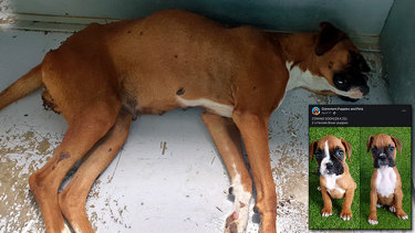 Distressing imagery: Strawberry in her dying minutes, and her puppies being sold in April at Claremont Puppies and Pets.
