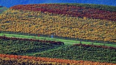 The colours of autumn vines at De Bortoli Wines in The Yarra Valley
