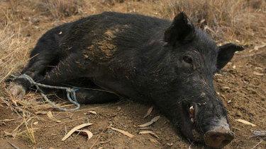 More than 25 million feral pigs roam across Australia.