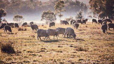 Australian paddocks are home to about 71 million sheep.