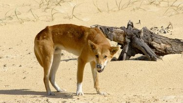 Two dingoes has been euthanised following an attack.