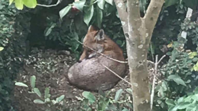A fox seen in Hunters Hill.