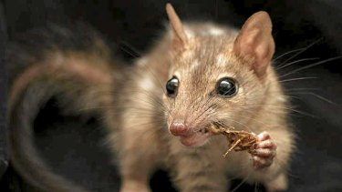 The rare northern quoll.