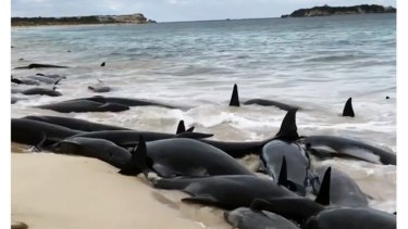 More than 150 short-finned pilot whales became beached at Hamelin Bay, in WA's south, in March 2018.