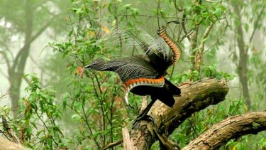 A superb lyrebird.