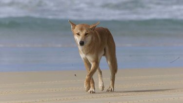 Dr Allen said there were bound to be attacks on Fraser Island because dogs and humans regularly interact.
