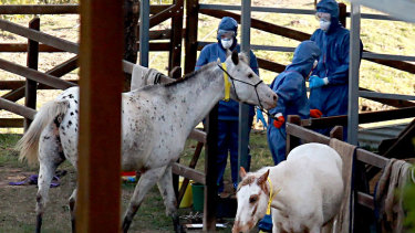 Biosecurity Queensland staff take samples from horses during the Hendra virus outbreak in 2011.
