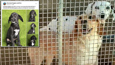 The dalmatian and golden retriever held at a NSW puppy farm believed to be responsible for the pups sold at Claremont Puppies and Pets.