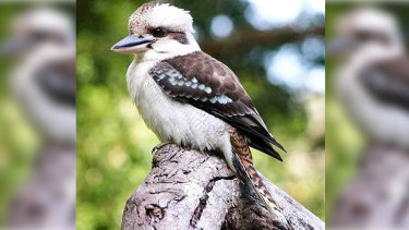 The kookaburra was known to regular patrons at Parkerville Tavern.