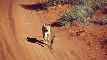 Researchers argue dingoes should be considered a separate species from domestic dogs.