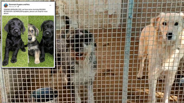 Bare cells, with no bedding, where dogs are kept imprisoned 24/7 according to a whistleblower. The schnauzer-cross and golden retriever pictured are believed to be responsible for the puppies sold at Claremont Puppies and Pet.