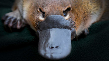 Platypus venom is not life-threatening to humans but can cause spectacular swelling and excruciating pain.