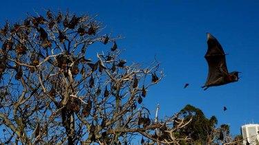 Bats in the Royal Botanic Gardens Sydney.