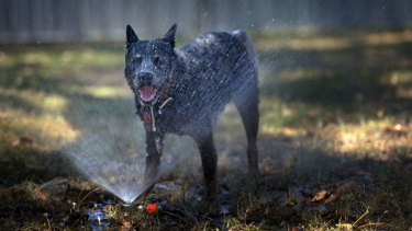 Cooling off under the sprinkler brings sweet relief to Buster the blue heeler.