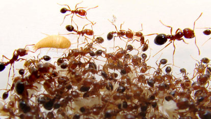 Brisbane port and airport declared fire ant free