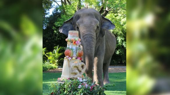 New lions, goodbye to elephants: New era for Perth Zoo after 120 years