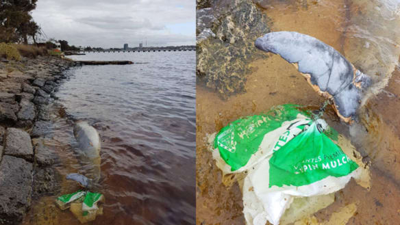 Swan River dolphin washes up dead, caught in fishing line, plastic bag