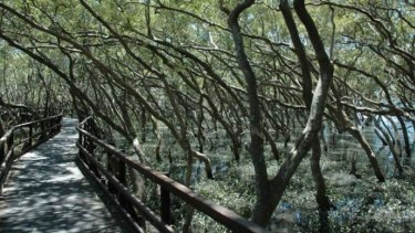 Researchers have used historical evidence to track the path of mangrove migration.