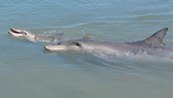Monkey Mia beach group welcomes two new baby dolphins