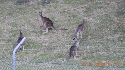 Locals - and developer - decry culling roos to make way for new homes