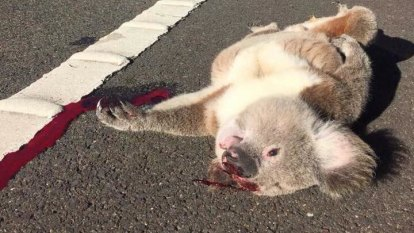 Thousands of homes among their gum trees: the assault on Sydney's last healthy koalas