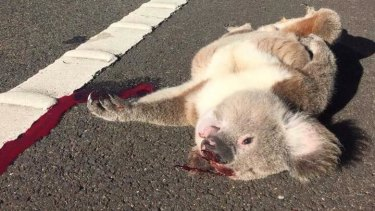 Victim of habitat loss: A koala killed on the roadside in Campbelltown.