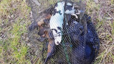 Seven platypuses have been found dead in an illegally set net in a Melbourne river.