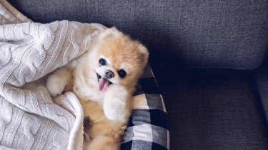 """Boo the """"world's cutest dog"""" has died, aged 12."""