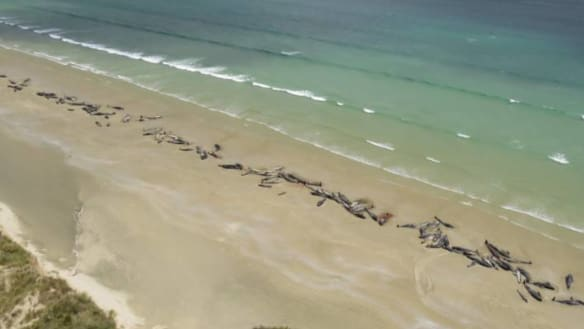 'A heartbreaking decision': 145 whales die after being stranded on island off NZ