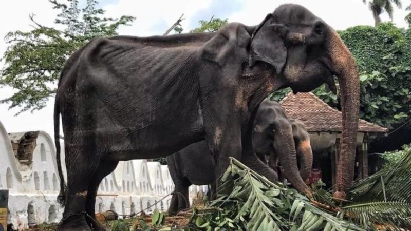 Elephant's 'bony body' hidden under costume during Sri Lankan festival