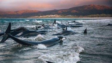 Liz Carlson and Julian Ripoll were hiking onStewart Island, NZ, when they stumbled upon a mass whale beaching.