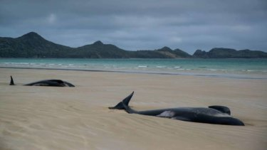 The next morning the whales were completely beached in the sand, far from the water and almost all still alive.