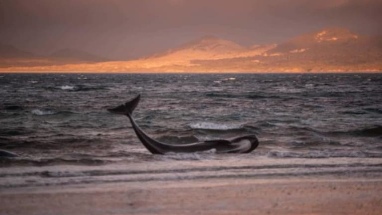 The surviving whales were euthanised.
