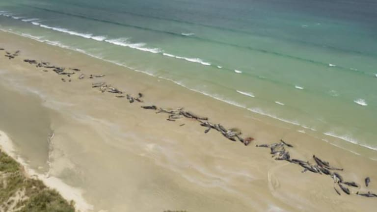 About 145 whales were stranded on Stewart Island, off NZ's south island.
