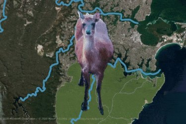 Deer are roaming throughout southern Sydney.