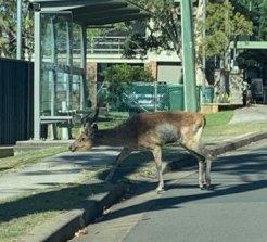 Rusa deer at the bus stop in Maianbar, 2020.