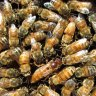 Man survives almost 100 bee stings dismantling old mine in Western Australia