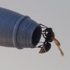 A keyhole wasp on one of the 3D printed replica probes.