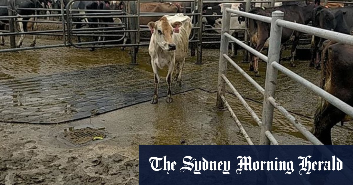 Chinese owner's 'catastrophic failure' drives Australia's biggest dairy farm into the ground