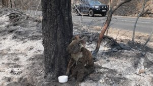 An injured koala sits with a water bowl in the charred remains of bushland in the Toowoomba region.