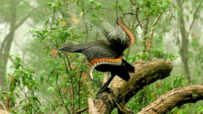 Lyrebirds and forest owl populations decimated in bushfire crisis