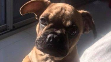 Piper the precious French bulldog pup