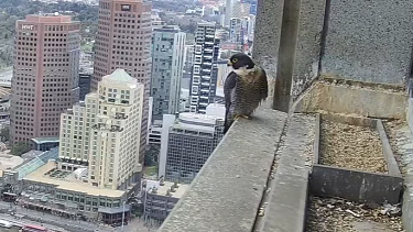 The peregrine falcons nest from late August.