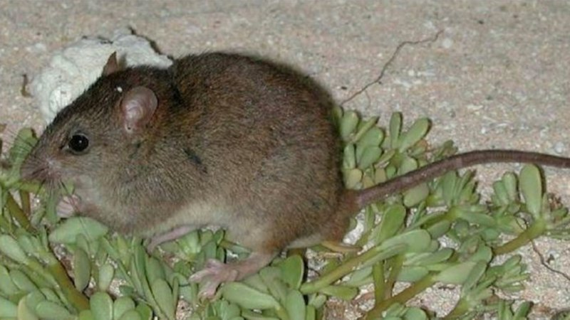 'Our little brown rat': first climate change-caused mammal extinction