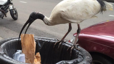 The Australian white ibis at its foraging best.